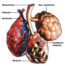 alveolepulmonaire.jpg