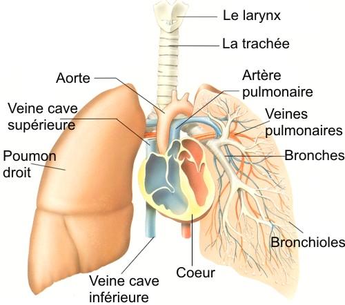 appareilrespiratoire2.jpg