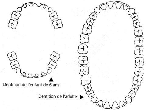 dentslaitadulte1.jpg