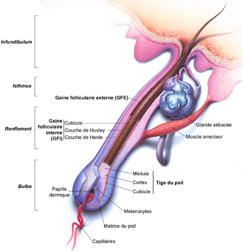 anatomiepoil.jpg